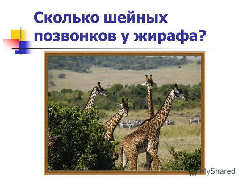 Сколько шейных позвонков у жирафа?