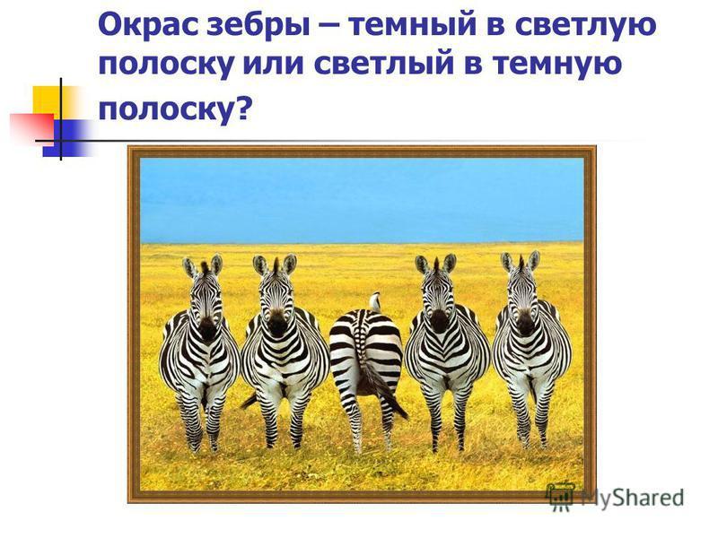 Окрас зебры – темный в светлую полоску или светлый в темную полоску?
