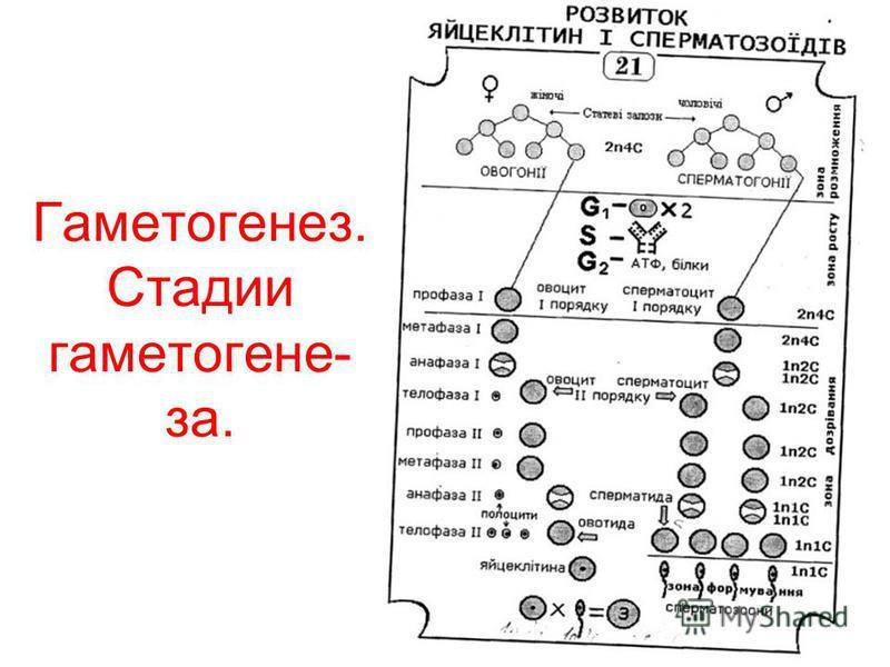 Гаметогенез. Стадии гаметогенеза.