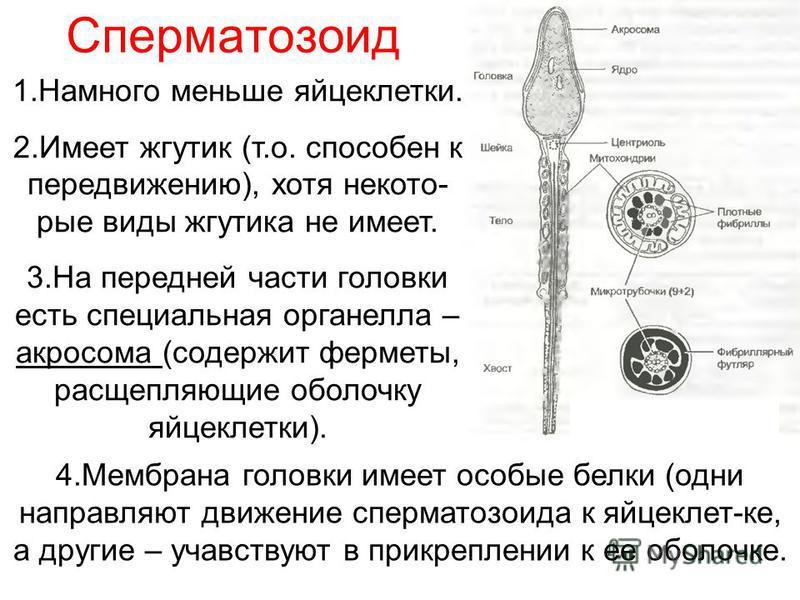 Сперматозоид 1. Намного меньше яйцеклетки. 2. Имеет жгутик (т.о. способен к передвижению), хотя некоторые виды жгутика не имеет. 3. На передней части головки есть специальная органелла – акросома (содержит ферменты, расщепляющие оболочку яйцеклетки).