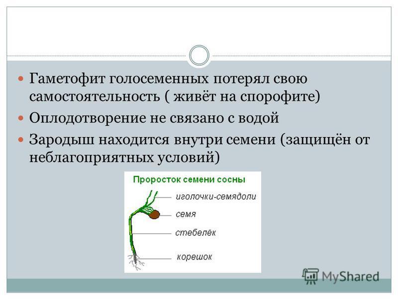 Гаметофит голосеменных потерял свою самостоятельность ( живёт на спорофите) Оплодотворение не связано с водой Зародыш находится внутри семени (защищён от неблагоприятных условий)