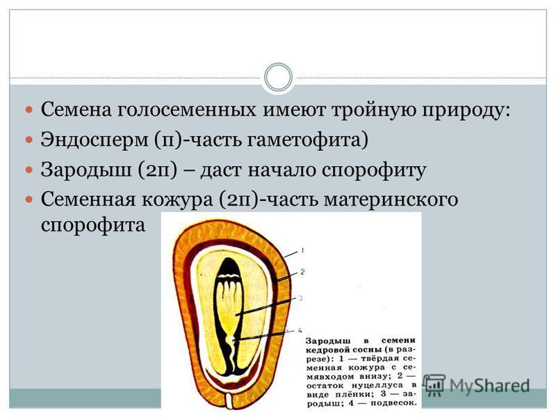 Семена голосеменных имеют тройную природу: Эндосперм (п)-часть гаметофита) Зародыш (2 п) – даст начало спорофиту Семенная кожура (2 п)-часть материнского спорофита