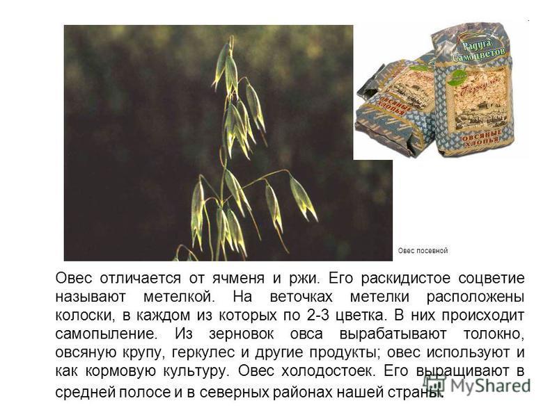 Овес отличается от ячменя и ржи. Его раскидистое соцветие называют метелкой. На веточках метелки расположены колоски, в каждом из которых по 2-3 цветка. В них происходит самоопыление. Из зерновок овса вырабатывают толокно, овсяную крупу, геркулес и д