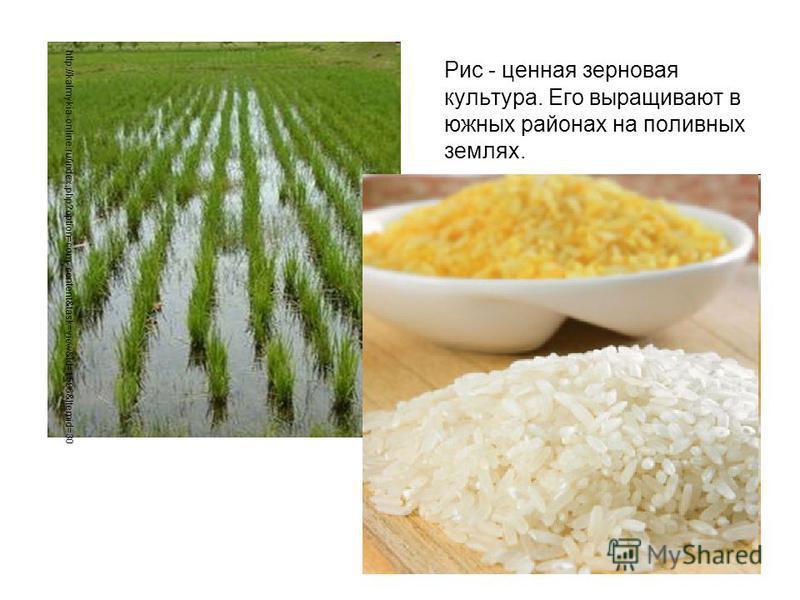 Рис - ценная зерновая культура. Его выращивают в южных районах на поливных землях. http://kalmykia-online.ru/index.php?option=com_content&task=view&id=1596&Itemid=30