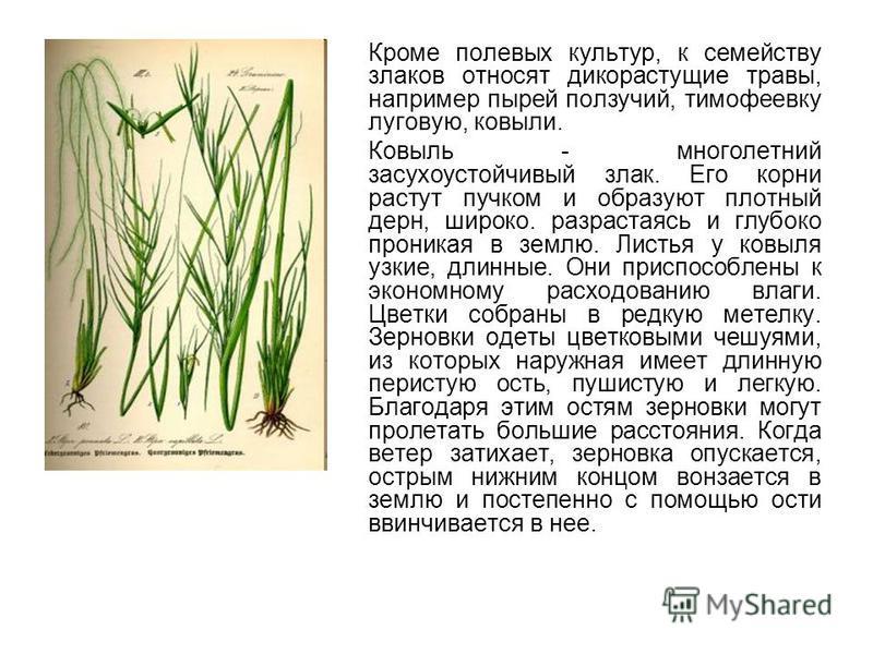 Кроме полевых культур, к семейству злаков относят дикорастущие травы, например пырей ползучий, тимофеевку луговую, ковыли. Ковыль - многолетний засухоустойчивый злак. Его корни растут пучком и образуют плотный дерн, широко. разрастаясь и глубоко прон