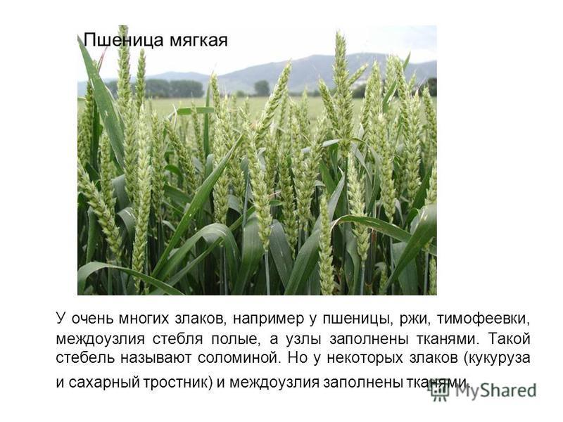 У очень многих злаков, например у пшеницы, ржи, тимофеевки, междоузлия стебля полые, а узлы заполнены тканями. Такой стебель называют соломиной. Но у некоторых злаков (кукуруза и сахарный тростник) и междоузлия заполнены тканями. Пшеница мягкая