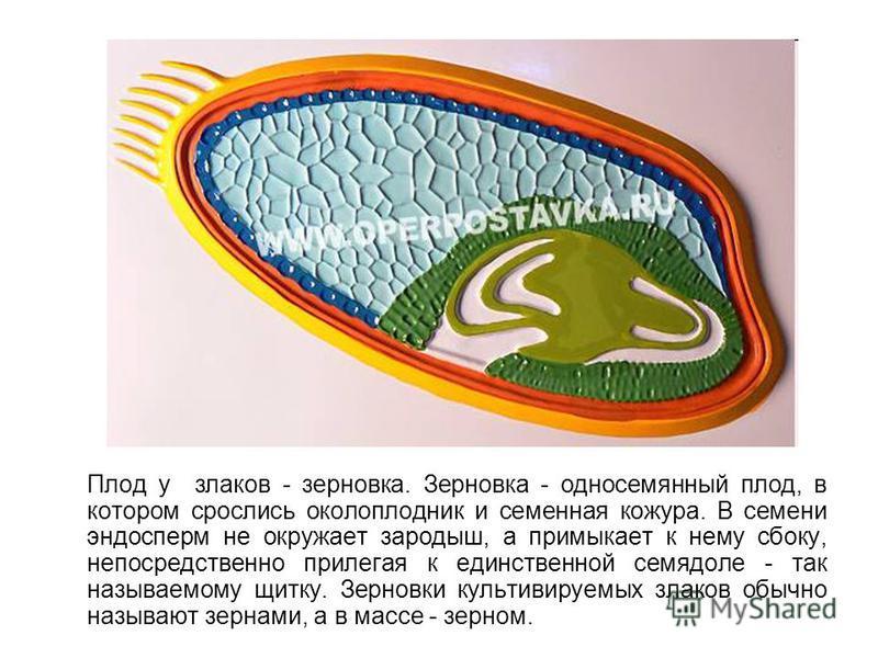 Плод у злаков - зерновка. Зерновка - односемянный плод, в котором срослись околоплодник и семенная кожура. В семени эндосперм не окружает зародыш, а примыкает к нему сбоку, непосредственно прилегая к единственной семядоле - так называемому щитку. Зер