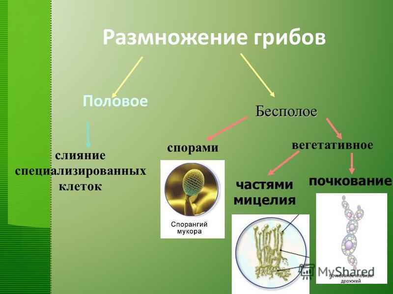 слияние специализированных клеток спорами вегетативное частями мицелия почкование Бесполое