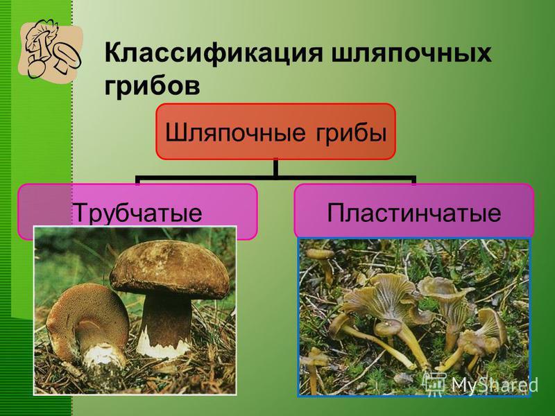 Классификация шляпочных грибов Шляпочные грибы Трубчатые Пластинчатые