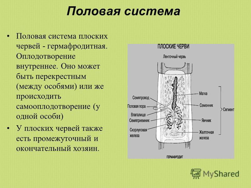 Половая система Половая система плоских червей - гермафродитная. Оплодотворение внутреннее. Оно может быть перекрестным (между особями) или же происходить самооплодотворение (у одной особи) У плоских червей также есть промежуточный и окончательный хо