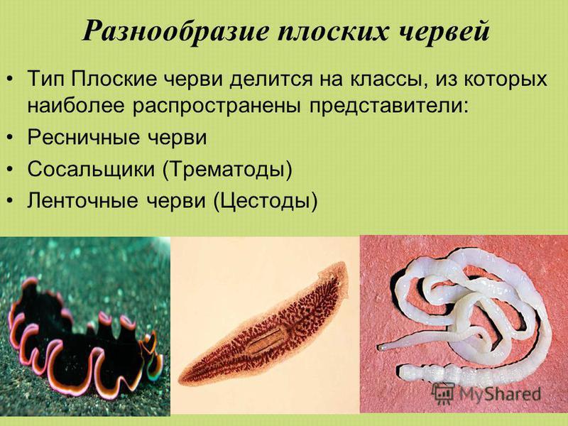 Разнообразие плоских червей Тип Плоские черви делится на классы, из которых наиболее распространены представители: Ресничные черви Сосальщики (Трематоды) Ленточные черви (Цестоды)