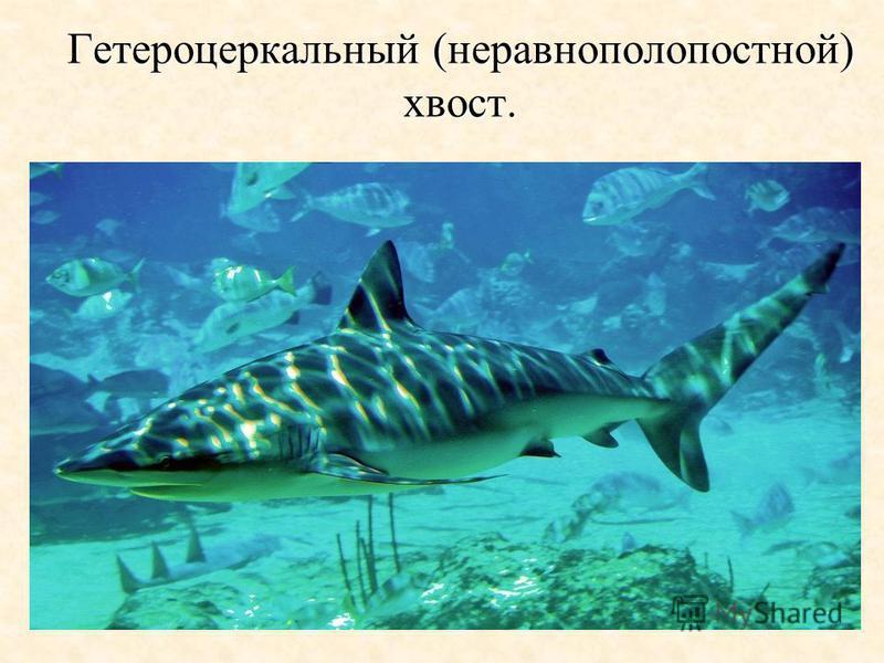 Гетероцеркальный (неравнополопостной) хвост.