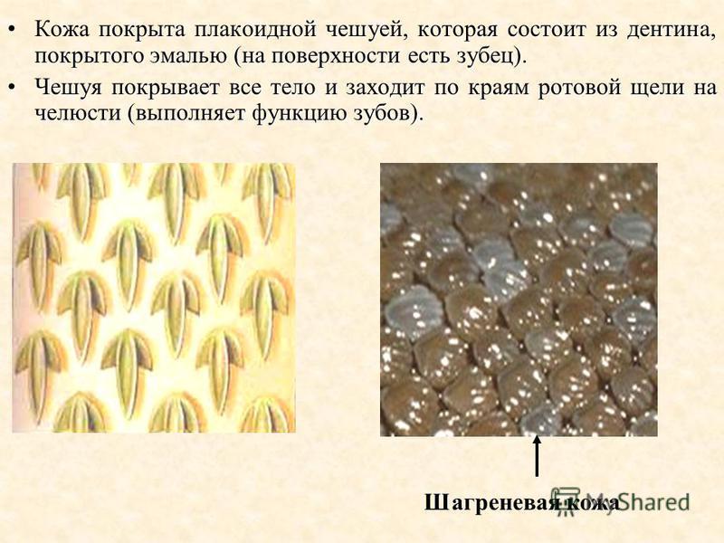 покрыта плакоидной чешуей, которая состоит из дентина, покрытого эмалью (на поверхности есть зубец).Кожа покрыта плакоидной чешуей, которая состоит из дентина, покрытого эмалью (на поверхности есть зубец). Чешуя покрывает все тело и заходит по краям