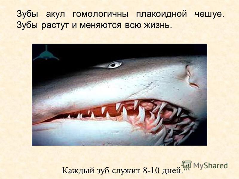 Зубы акул гомологичны плакоидной чешуе. Зубы растут и меняются всю жизнь. Каждый зуб служит 8-10 дней.