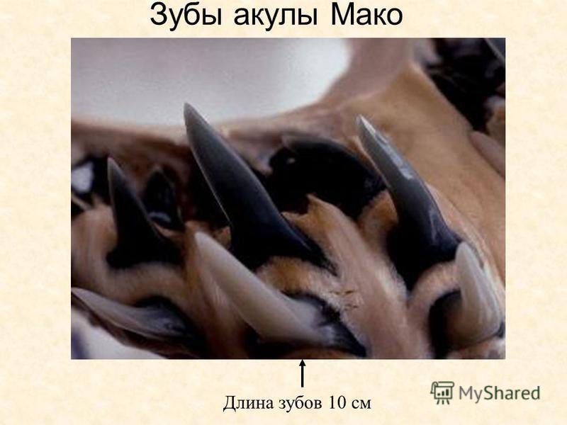Зубы акулы Мако Длина зубов 10 см