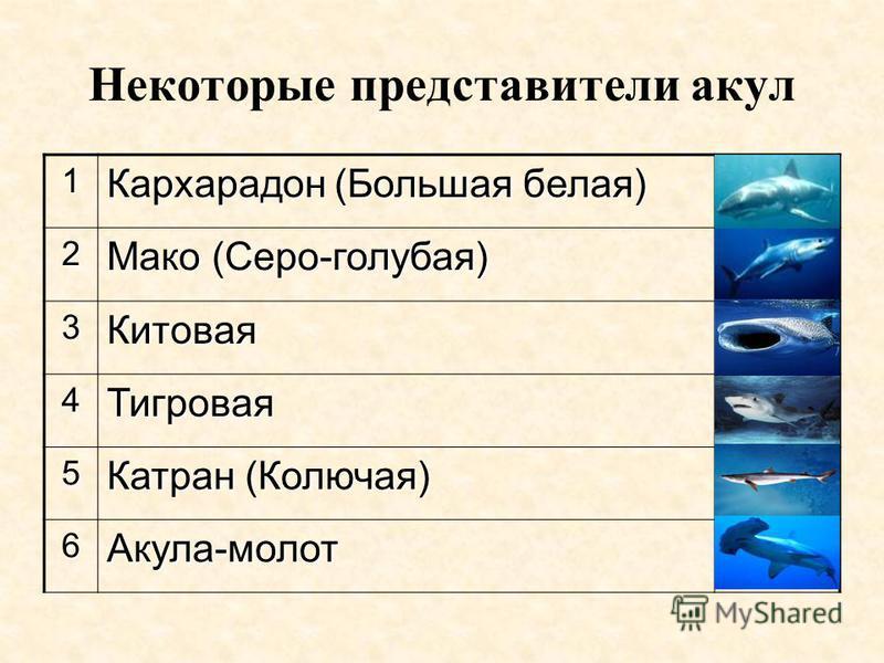 Некоторые представители акул 1 Кархарадон (Большая белая) 2 Мако (Серо-голубая) 3Китовая 4Тигровая 5 Катран (Колючая) 6Акула-молот