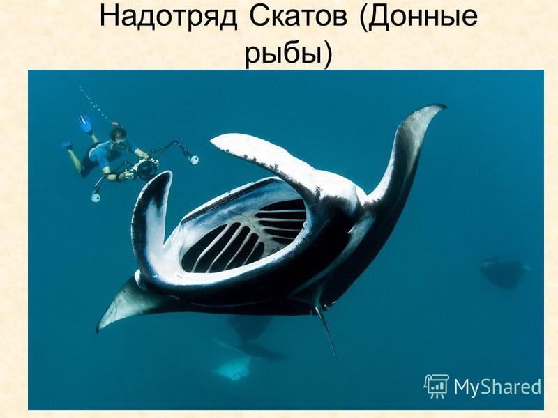 Надотряд Скатов (Донные рыбы)