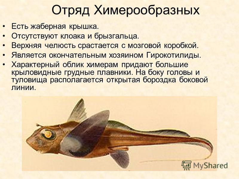 Отряд Химерообразных Есть жаберная крышка.Есть жаберная крышка. Отсутствуют клоака и брызгальца.Отсутствуют клоака и брызгальца. Верхняя челюсть срастается с мозговой коробкой.Верхняя челюсть срастается с мозговой коробкой. Является окончательным хоз