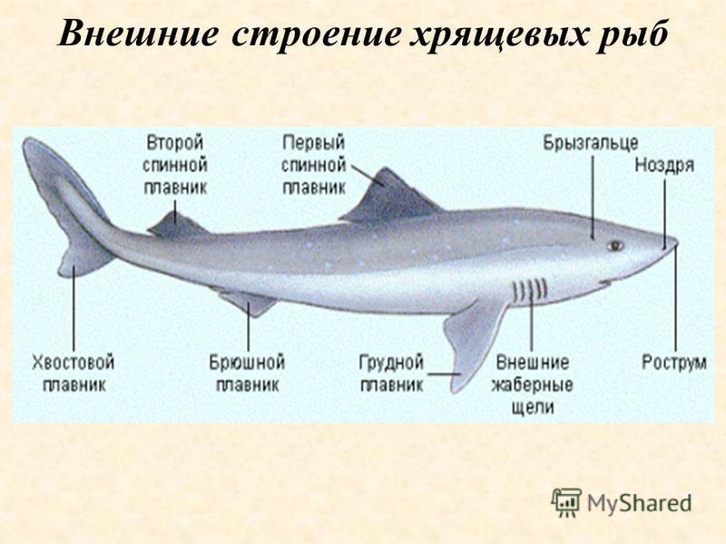 Внешние строение хрящевых рыб