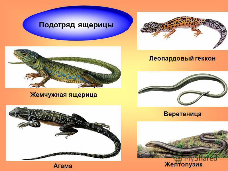 Подотряд ящерицы Веретеница Aгама Леопардовый геккон Жемчужная ящерица Желтопузик