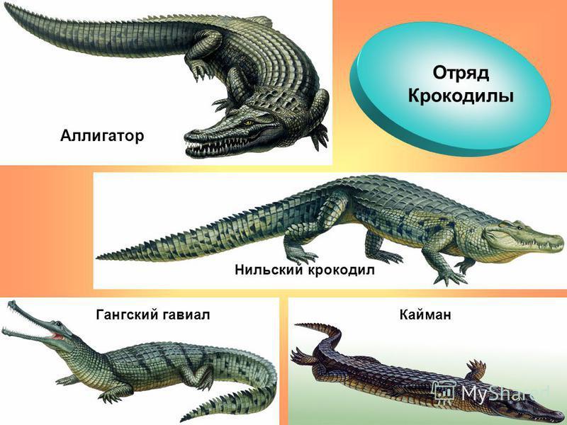Отряд Крокодилы Аллигатор Нильский крокодил Кайман Гангский гавиал