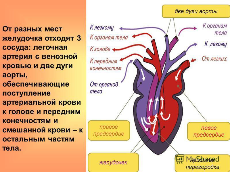 От разных мест желудочка отходят 3 сосуда: легочная артерия с венозной кровью и две дуги аорты, обеспечивающие поступление артериальной крови к голове и передним конечностям и смешанной крови – к остальным частям тела. две дуги аорты левое предсердие