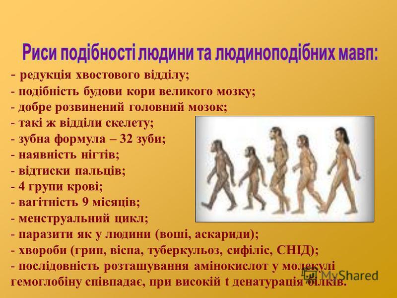 - редукція хвостового відділу; - подібність будови кори великого мозку; - добре розвинений головний мозок; - такі ж відділи скелету; - зубна формула – 32 зуби; - наявність нігтів; - відтиски пальців; - 4 групи крові; - вагітність 9 місяців; - менстру