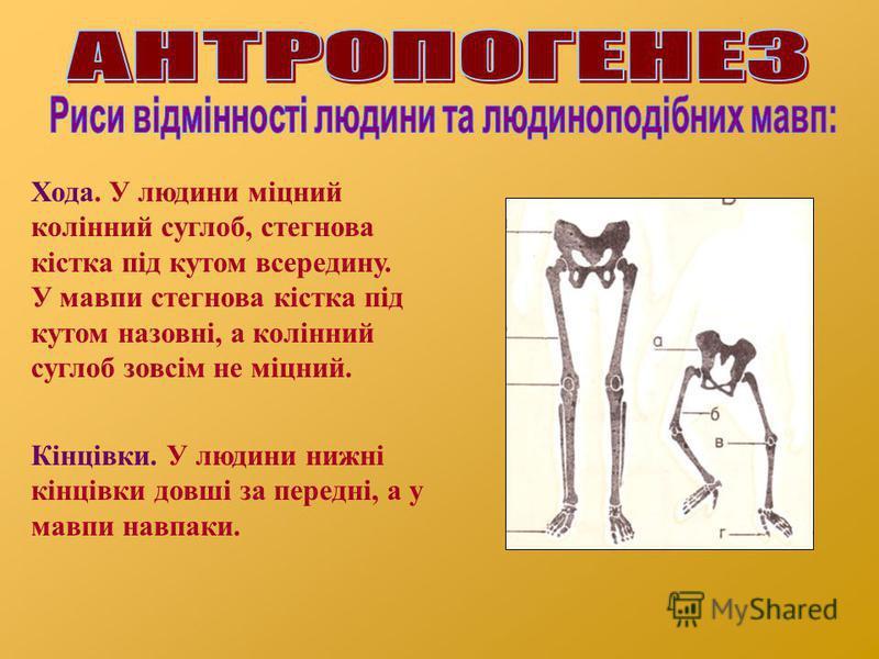 Хода. У людини міцний колінний суглоб, стегнова кістка під кутом всередину. У мавпи стегнова кістка під кутом назовні, а колінний суглоб зовсім не міцний. Кінцівки. У людини нижні кінцівки довші за передні, а у мавпи навпаки.