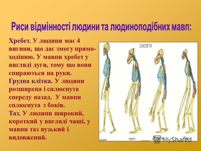 Хребет. У людини має 4 вигини, що дає змогу прямо- ходінню. У мавпи хребет у вигляді дуги, тому що вони спираються на руки. Грудна клітка. У людини розширена і сплюснута спереду назад. У мавпи сплюснута з боків. Таз. У людини широкий, короткий у вигл