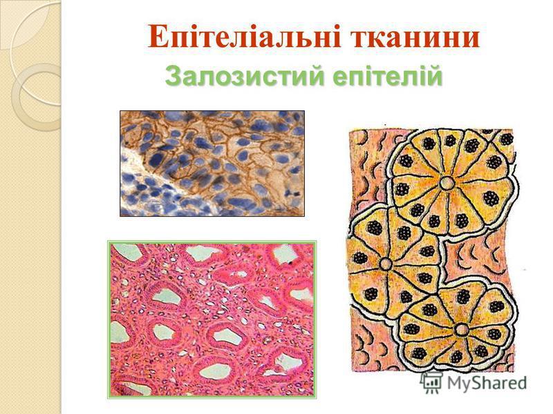 Залозистий епітелій Епітеліальні тканини