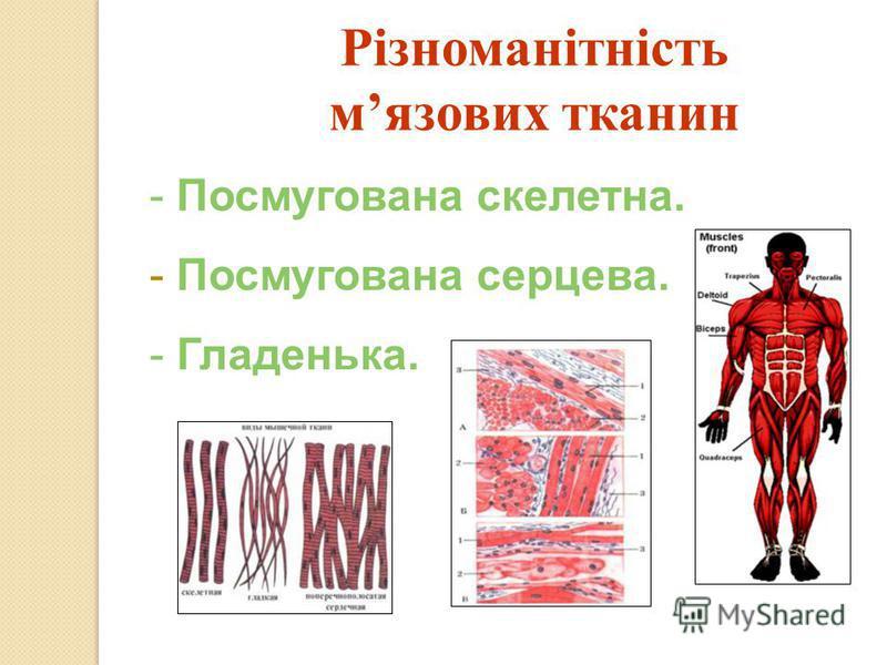 Різноманітність мязових тканин - Посмугована скелетна. - Посмугована серцева. - Гладенька.
