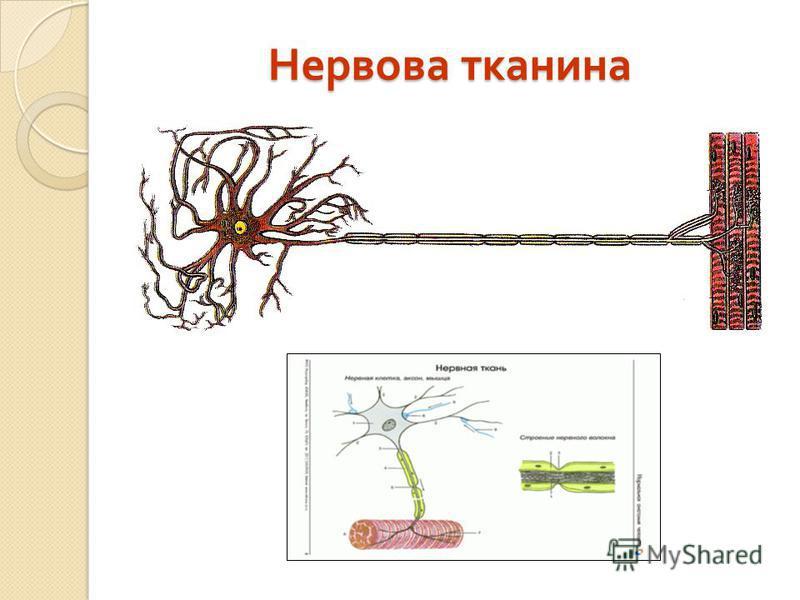 Нервова тканина Нервова тканина