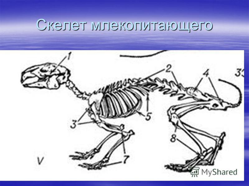 Скелет млекопитающего