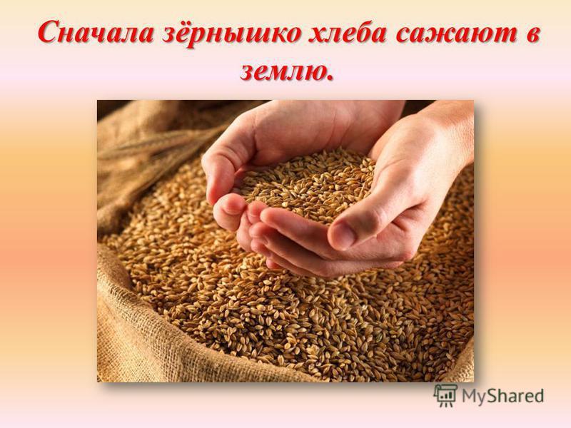 Сначала зёрнышко хлеба сажают в землю.