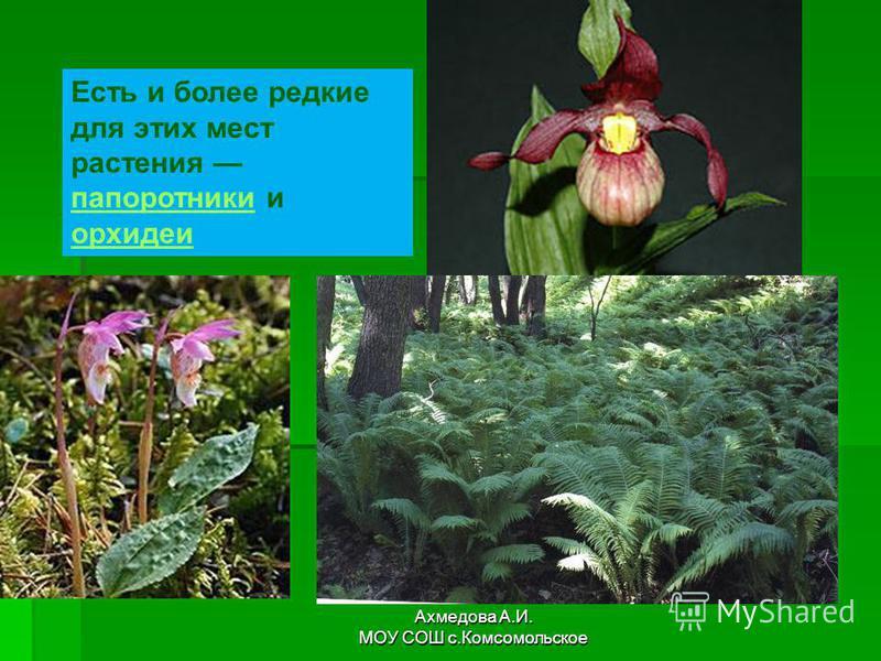 Есть и более редкие для этих мест растения папоротники и орхидеи папоротники орхидеи Ахмедова А.И. МОУ СОШ с.Комсомольское