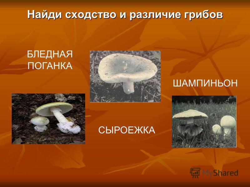 Найди сходство и различие грибов БЛЕДНАЯ ПОГАНКА СЫРОЕЖКА ШАМПИНЬОН