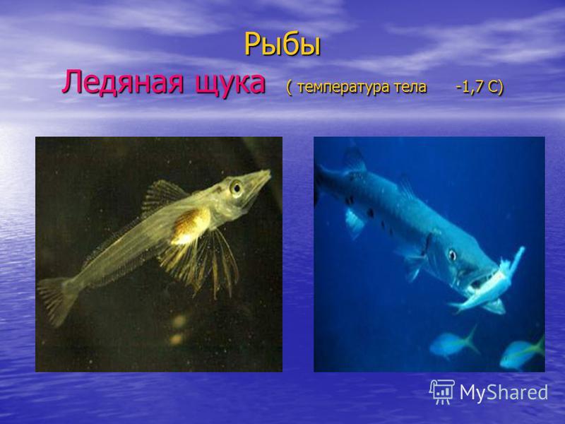 Рыбы Ледяная щука ( температура тела -1,7 С)