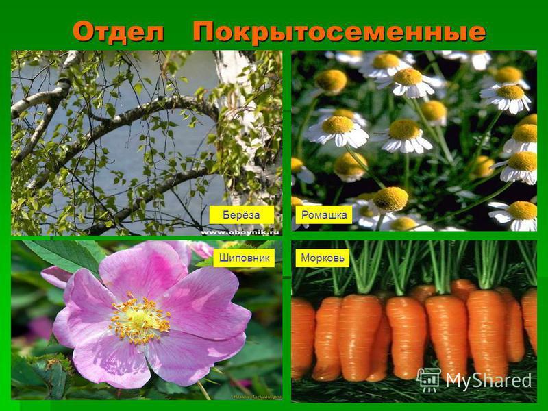 Отдел Покрытосеменные Берёза Ромашка Шиповник Морковь