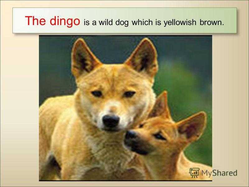 The dingo is a wild dog which is yellowish brown.