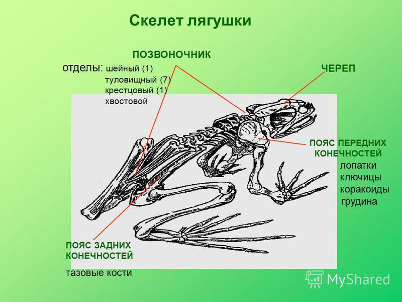 ЧЕРЕП ПОЗВОНОЧНИК отделы: шейный (1) туловищный (7) крестцовый (1) хвостовой ПОЯС ПЕРЕДНИХ КОНЕЧНОСТЕЙ лопатки ключицы коракоиды грудина ПОЯС ЗАДНИХ КОНЕЧНОСТЕЙ тазовые кости Скелет лягушки