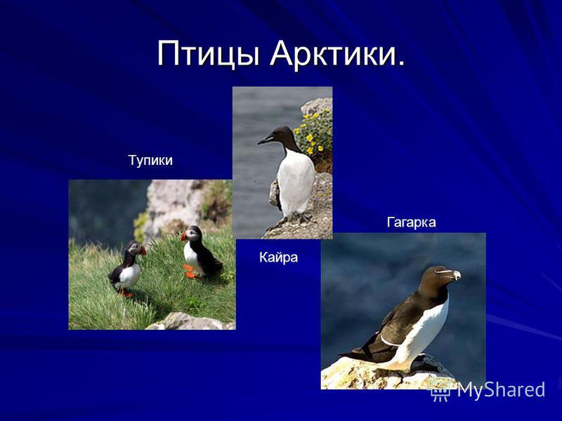 Птицы Арктики. Тупики Кайра Гагарка