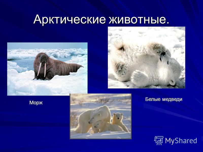 Арктические животные. Белые медведи Морж