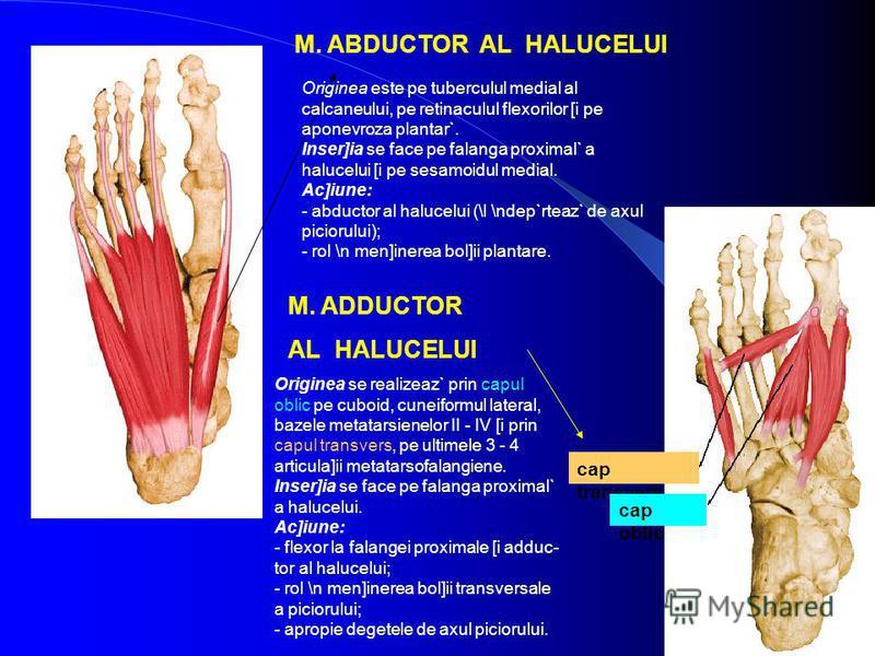 M. ABDUCTOR AL HALUCELUI M. ADDUCTOR AL HALUCELUI Originea este pe tuberculul medial al calcaneului, pe retinaculul flexorilor [i pe aponevroza plantar`. Inser]ia se face pe falanga proximal` a halucelui [i pe sesamoidul medial. Ac]iune: - abductor a