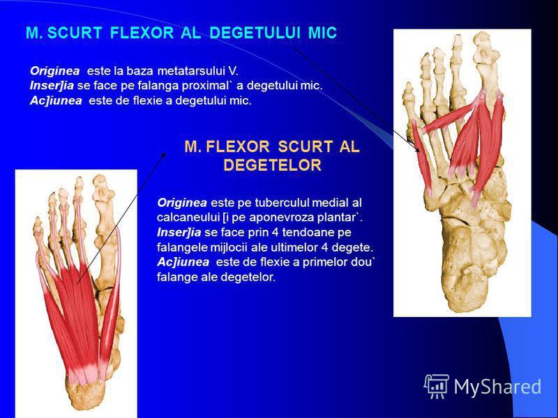 M. SCURT FLEXOR AL DEGETULUI MIC Originea este la baza metatarsului V. Inser]ia se face pe falanga proximal` a degetului mic. Ac]iunea este de flexie a degetului mic. M. FLEXOR SCURT AL DEGETELOR Originea este pe tuberculul medial al calcaneului [i p