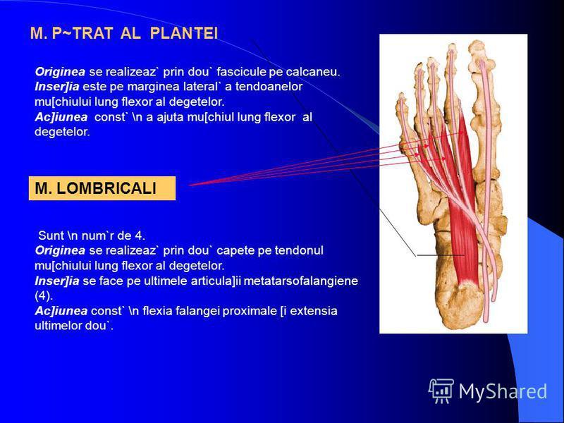 M. P~TRAT AL PLANTEI Originea se realizeaz` prin dou` fascicule pe calcaneu. Inser]ia este pe marginea lateral` a tendoanelor mu[chiului lung flexor al degetelor. Ac]iunea const` \n a ajuta mu[chiul lung flexor al degetelor. M. LOMBRICALI Sunt \n num