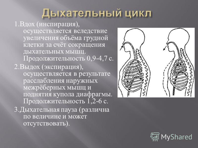 1. Вдох ( инспирация ), осуществляется вследствие увеличения объёма грудной клетки за счёт сокращения дыхательных мышц. Продолжительность 0,9-4,7 с. 2. Выдох ( экспирация ), осуществляется в результате расслабления наружных межрёберных мышц и подняти