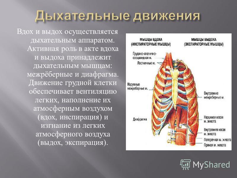 Вдох и выдох осуществляется дыхательным аппаратом. Активная роль в акте вдоха и выдоха принадлежит дыхательным мышцам : межрёберные и диафрагма. Движение грудной клетки обеспечивает вентиляцию легких, наполнение их атмосферным воздухом ( вдох, инспир