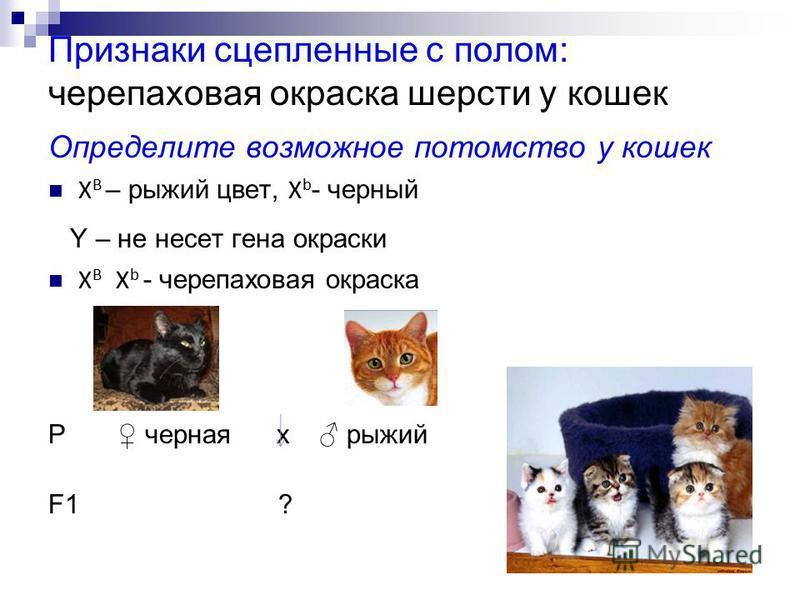 Признаки сцепленные с полом: черепаховая окраска шерсти у кошек Определите возможное потомство у кошек Х В – рыжий цвет, Х b - черный Y – не несет гена окраски Х В Х b - черепаховая окраска Р черная х рыжий F1 ?