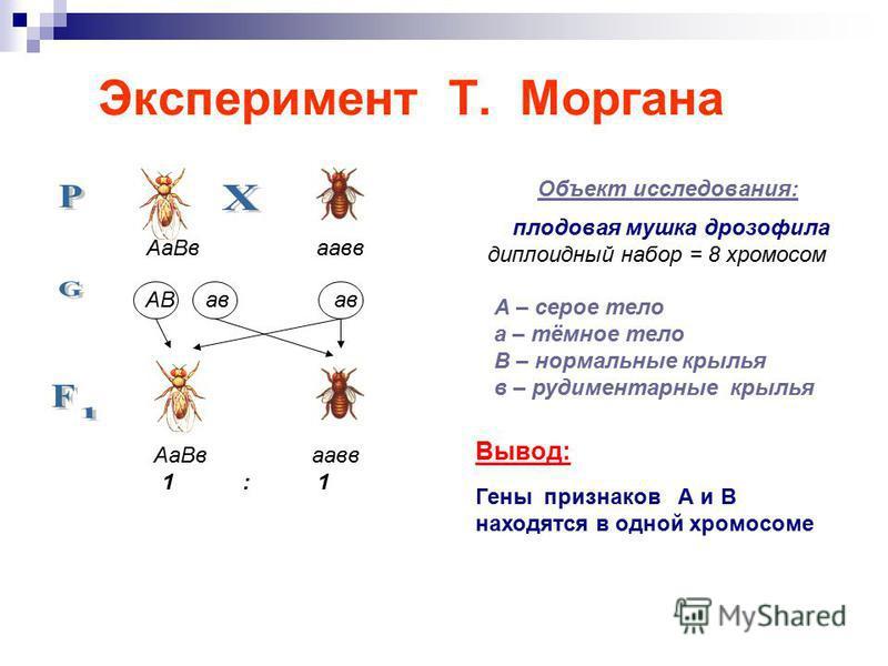 Эксперимент Т. Моргана Объект исследования: плодовая мушка дрозофила диплоидный набор = 8 хромосом А – серое тело а – тёмное тело В – нормальные крылья в – рудиментарные крылья Вывод: Гены признаков А и В находятся в одной хромосоме Аа Вв аавв АВ ав
