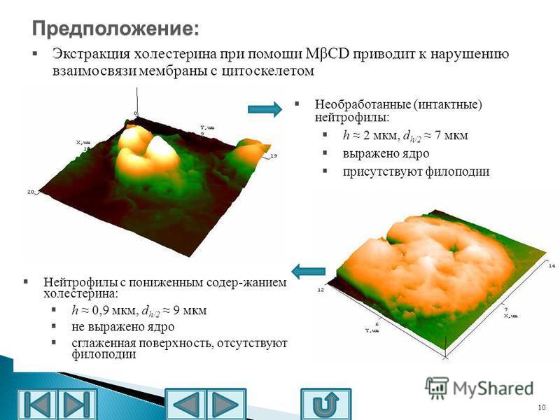 10 h 2 мкм Необработанные (интактные) нейтрофилы: h 2 мкм, d h/2 7 мкм выражено ядро присутствуют филоподии Нейтрофилы с пониженным содер-жанием холестерина: h 0,9 мкм, d h/2 9 мкм не выражено ядро сглаженная поверхность, отсутствуют филоподии Предпо